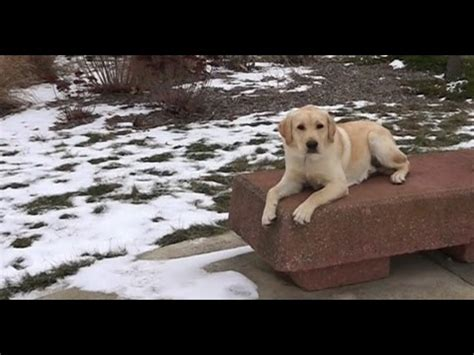 alpine white golden retrievers reviews labrador retriever funnydog tv