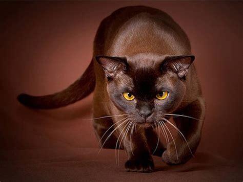 brown breeds brown cat purrfect cat breeds