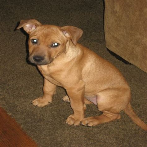yellow pitbull puppies for sale american pit bull terrier yellow lab mix breeds picture