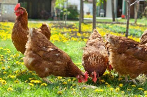 alimentazione delle galline gallina mangia le proprie uova vi sveliamo il perch 233 dell