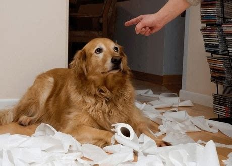 guilty golden retriever dogspeak dogs and the guilty look dogtime