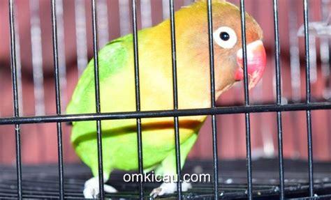 Milet Dongkrak Tips Perawatan Untuk Mendongkrak Lovebird Klub Burung