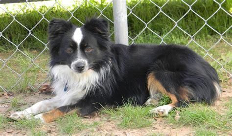 border aussie puppies border aussie designer dogs breed standards