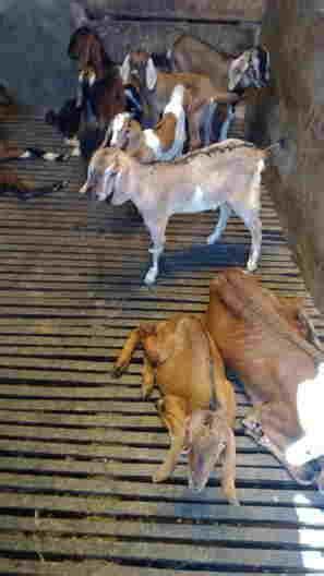 Fermentasi Pakan Ternak Menggunakan Em4 makanan kambing dengan dua pengertian daging kambing