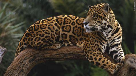 jaguar belize tips for jaguar spotting in belize cnn