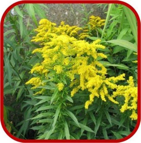 piante fiori gialli piante con fiori gialli