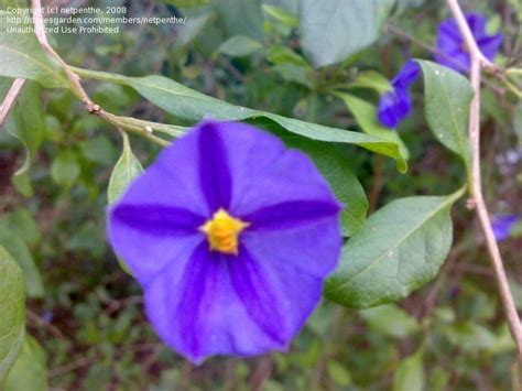 Purple Garden Flowers Identification Plant Identification Closed Purple Flowers 1 By Netpenthe