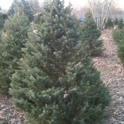 christmas tree farm photography ct brown s tree farm trees 167 wopowog rd east hton ct phone