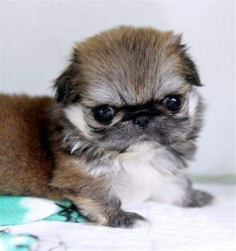 teacup pekingese puppies for sale 1000 images about teacup pekingese puppies on tea cups and babies