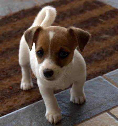 all small breeds small breeds list with pictures pet photos gallery en2zqodkaq