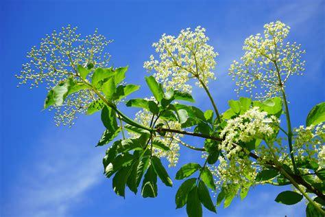 fiore di sambuco sambuco coltivazione