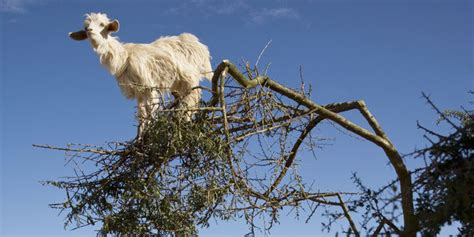Goats In Trees Calendar Goats In Trees
