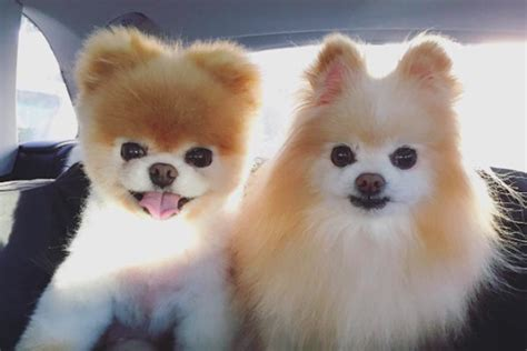 national pomeranian day celebrate national puppy day with these instagram dogs real