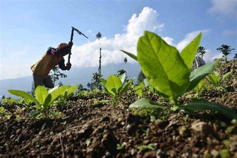 Bibit Tembakau petani tembakau di temanggung dirundung galau republika