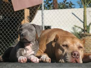 Daddy quot amp quot junior quot caesar milan s dogs from the dog whisperer
