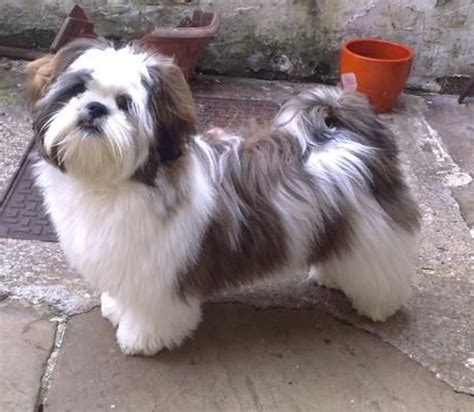 expectancy of a shih tzu lhasa apso 358 best lhasa apso images on doggies pets and puppies