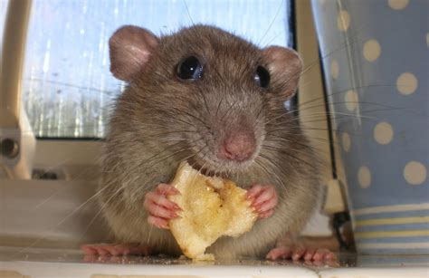 Would You Eat A Rat mouse cheese animals amazing