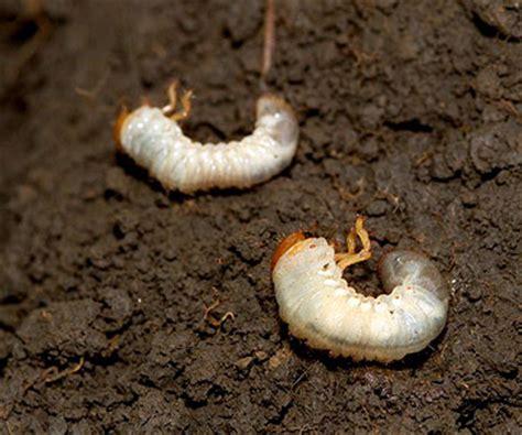 garden pests grubs stop grubs in your lawn