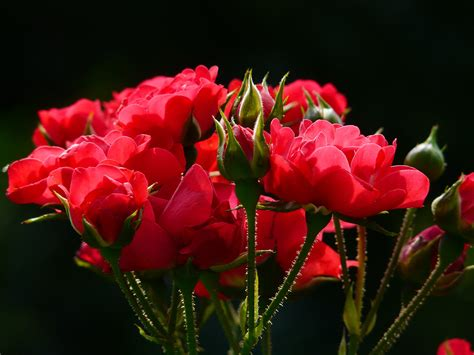 light up red roses red roses close up photography 183 free stock photo