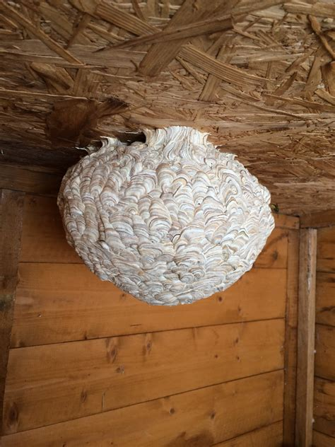 Wasp Nest In Shed by Wasp Nest Removal Nature In Balance Pest