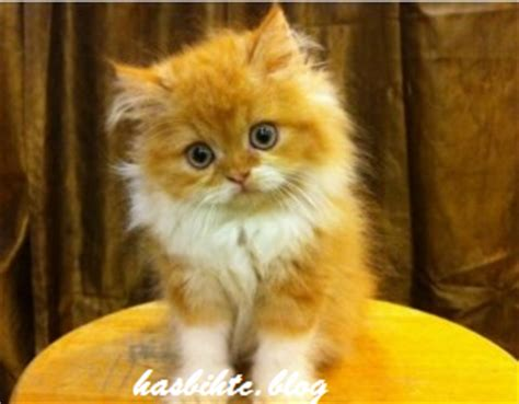 Sho Kucing Anggora pet shop
