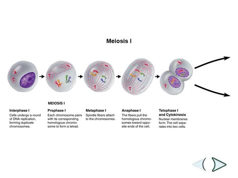 section 11 4 meiosis meiosis ppt video online download