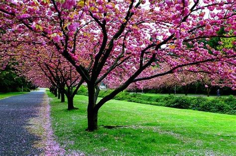 Pohon Cherry By One Home 1000 images about nature on trees beautiful
