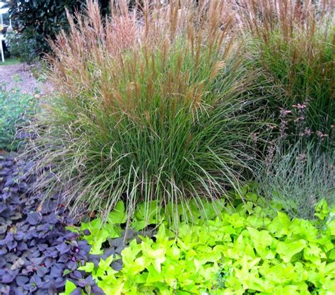 Garden Grasses by Ornamental Grasses Ornamental Grass And Sweet Potato