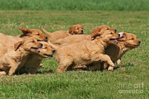 golden retriever puppies running running golden retriever puppies photograph by photos