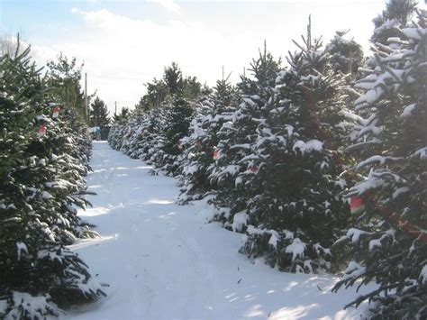 medina christmas tree farm in medina medina christmas