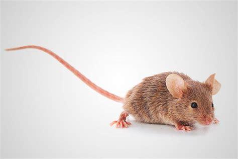 imagenes en movimiento de ratones 191 qu 233 comen los ratones