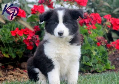 border collie mix puppies border collie mix puppies for sale keystone puppies