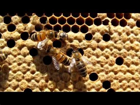 honey bees hatching youtube