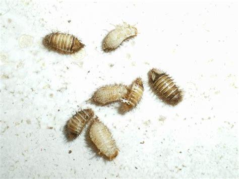 peli sul sedere insetto 232 larva di antreno forum natura