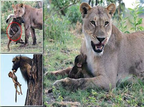 lioness spares baby baboon  killing  mother