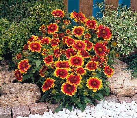 Gaillardia Arizona Sun 15 Seeds Perennial Ebay