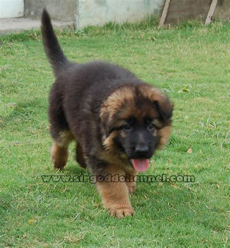 german shepherd puppies price german shepherd puppies for sale kulbir singh brar 1 3462 dogs for sale price of