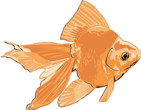 gold fish clip fantail goldfish clip clipart best