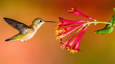 how to create a hummingbird friendly yard audubon