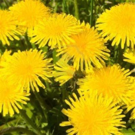 sciroppo di fiori di tarassaco sciroppo di fiori di tarassaco 3 4 5