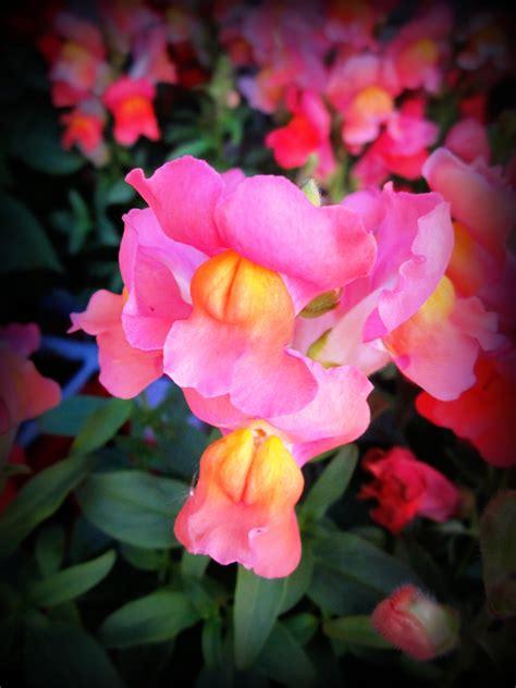 snapdragons flower favorites and plants pinterest