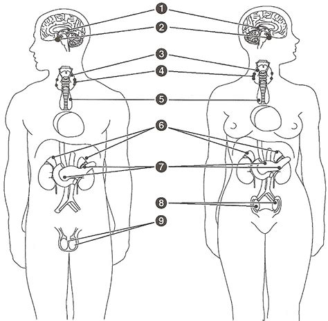 free coloring pages of endocrine system
