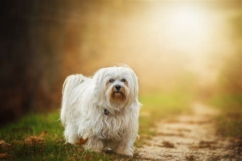 havanese breed temperament breeds havanese temperament and personality dogalize