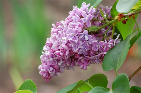 lilac flower meaning google image result for http www alegriphotos com images