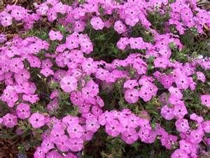 lavender colored flowers plant guide phlox intensia lavender glow