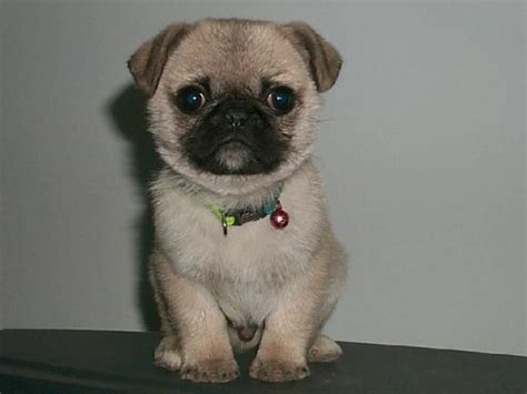 photos of baby pugs baby pugs pug