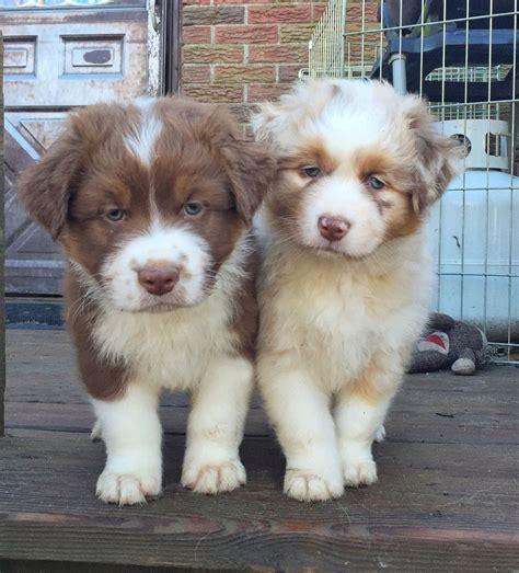 how much are australian shepherd puppies 5 pictures of beautiful australian shepherd puppy justviral net