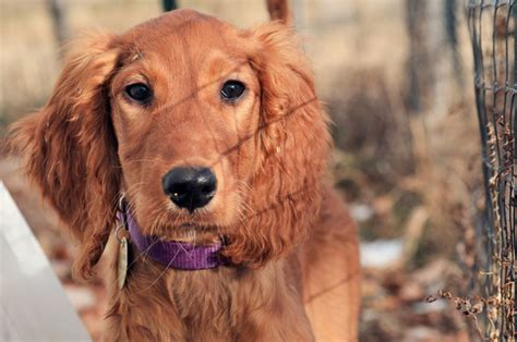 irish setter golden doodle bernedoodles irish doodles and goldendoodles by mountain