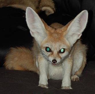 fennec foxes  foxloft