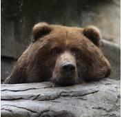 Sad Bear Kodiak Br